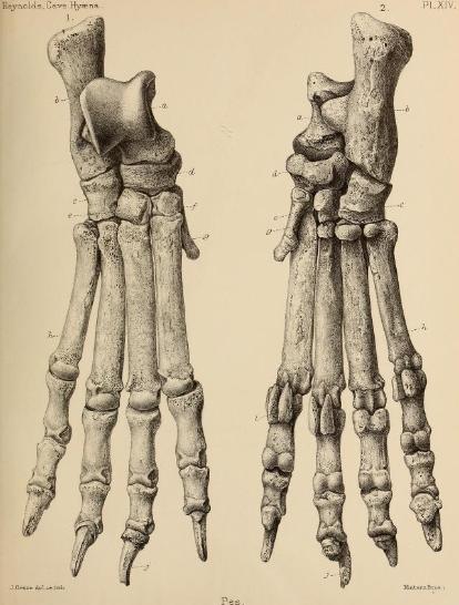 British_Pleistocene_Mammalia_(1866)_Cave_Hyena_Pes_1